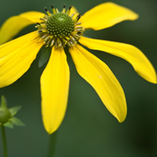 greenconeflower_175
