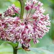 milkweed_175