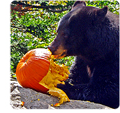 bear with pumpkin