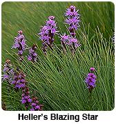 heller's blazing star