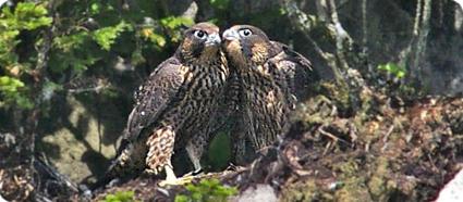 fledgling peregrines
