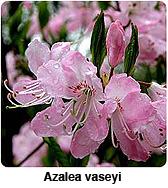 azalea vaseyi