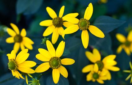 greenconeflower_wide