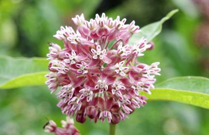milkweed_wide
