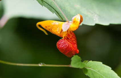 spottedjewelweed_wide