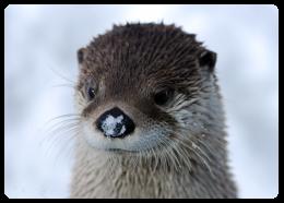 012916_gfm_snow_otter_FR