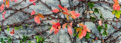 100216_gfm_221_virginia_creeper_ss_small