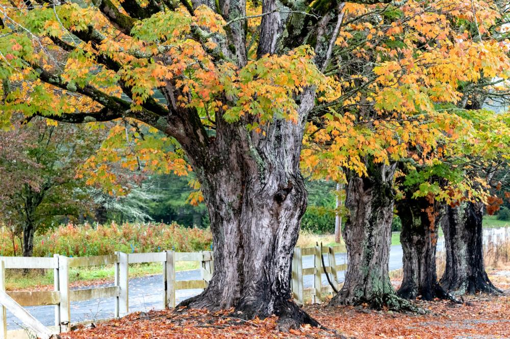 Pineola Sugar Maples