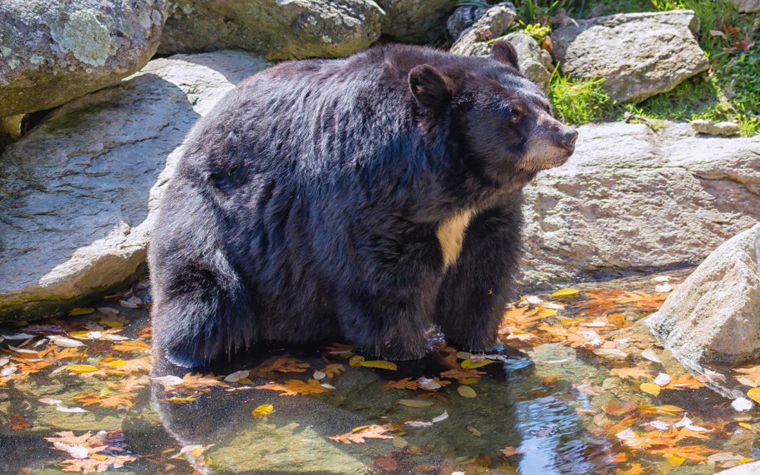 Bear-ly Autumn